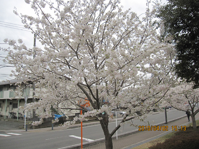 Sakuratyuuou2
